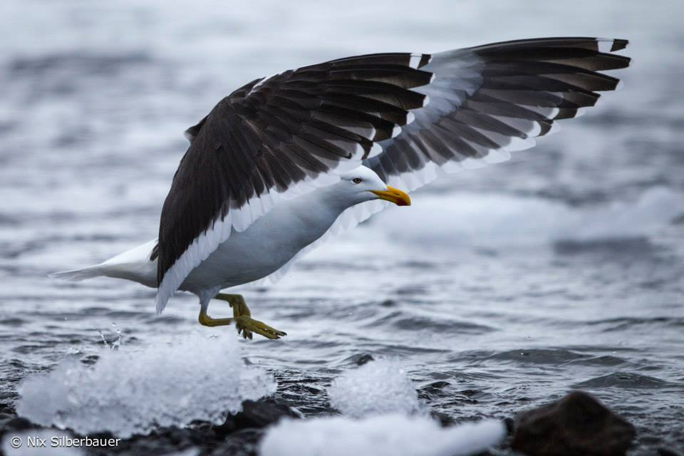 Kelp Gull @ Antarctica