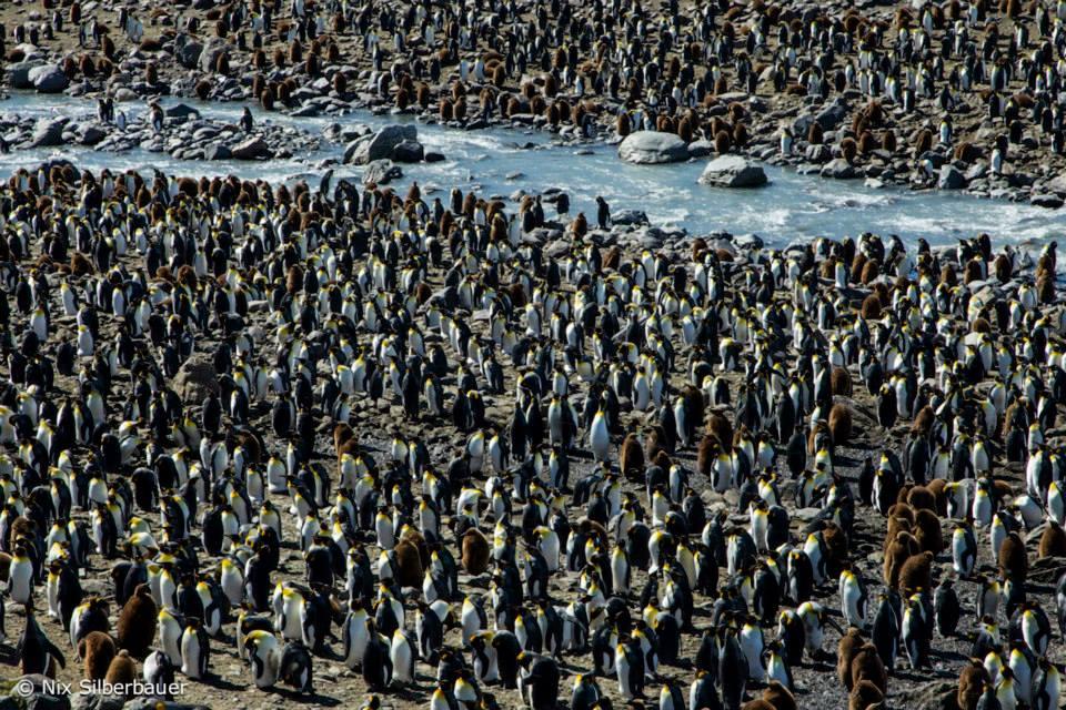 King Penguins, St Andrews Bay, South Georgia