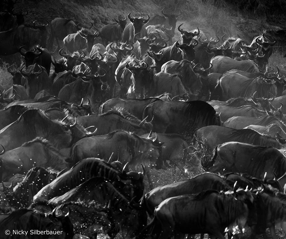 Wilderbeest Migration, Grumeti, East Africa