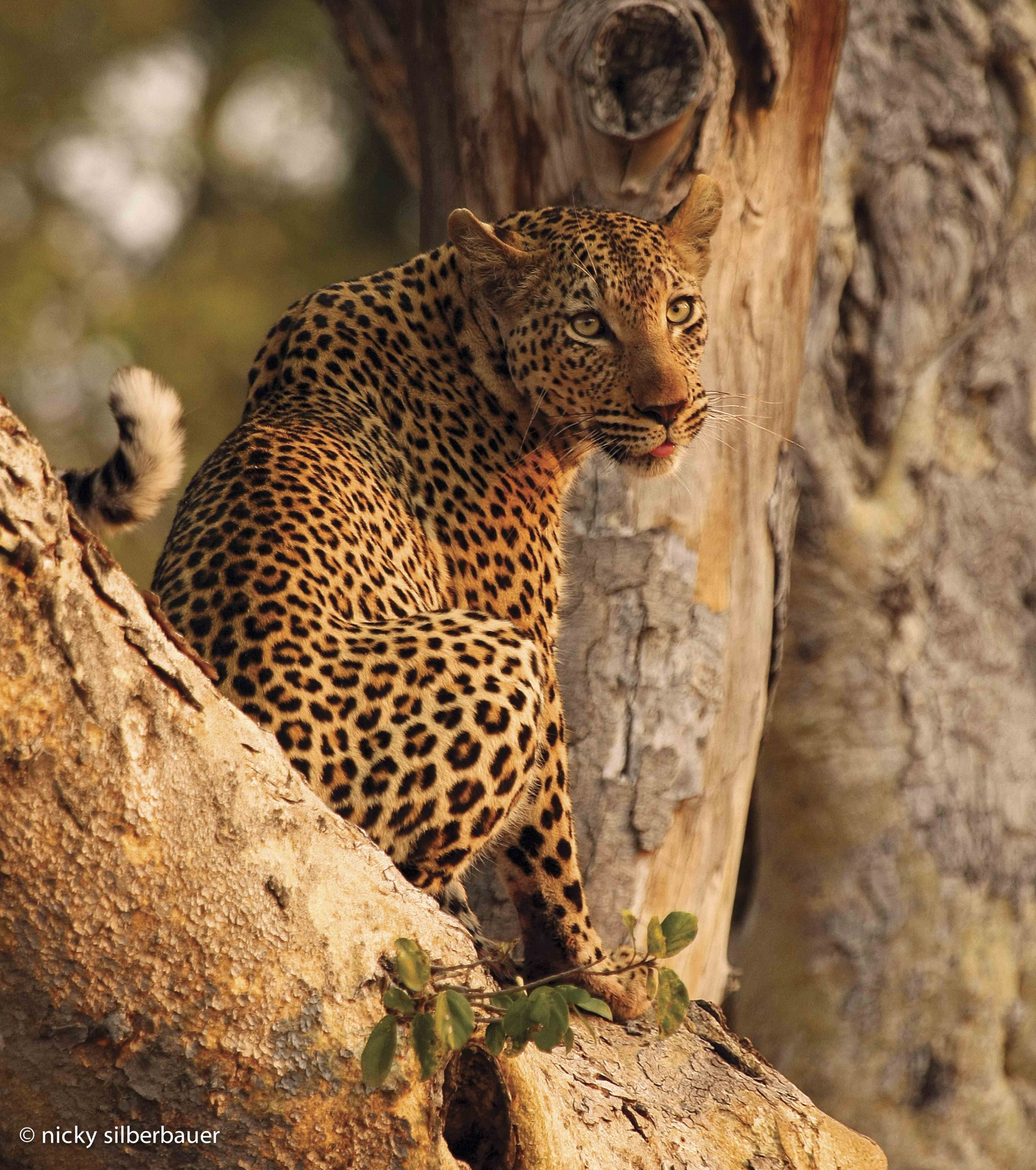 Leopardess @ Singita