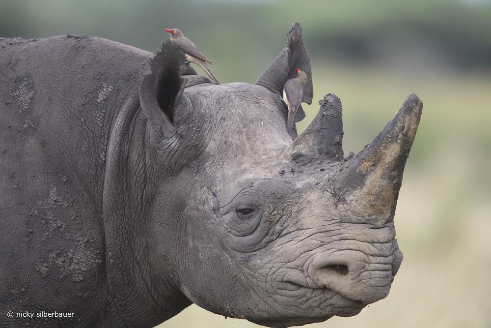 Rhino @ Africa