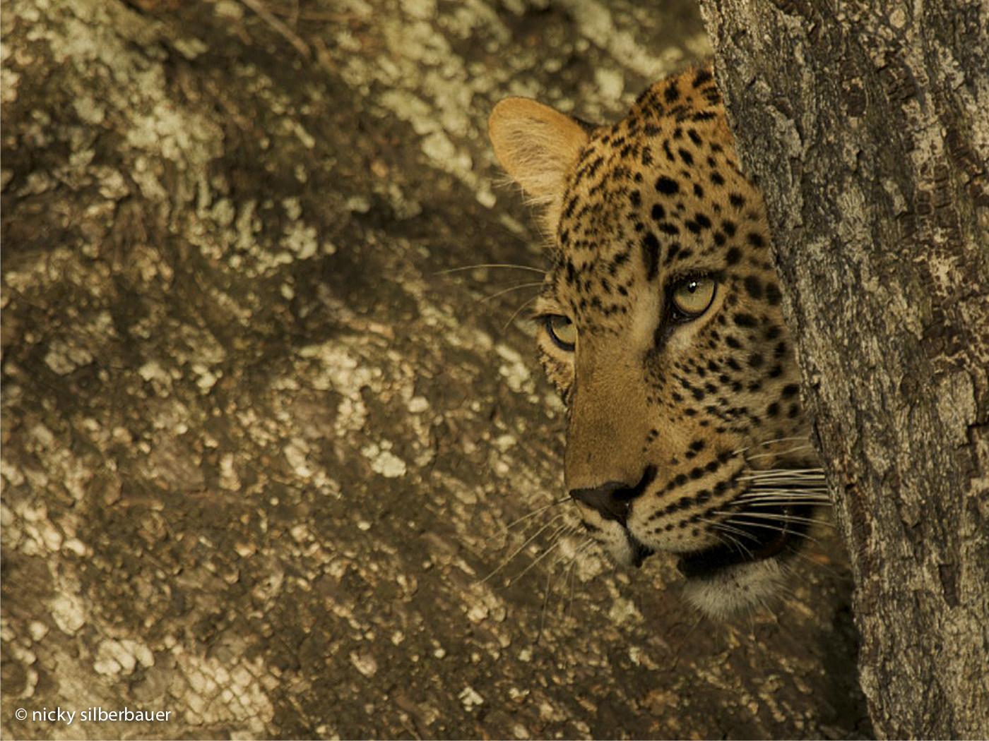 Leopard @ Singita