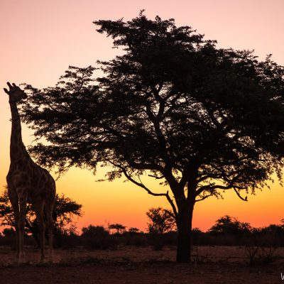 Giraffe, Kalahari,South Africa