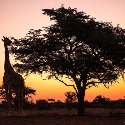 Giraffe, Kalahari,South Africa