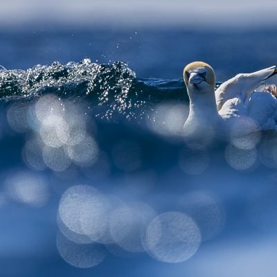 Northern gannet, Ireland