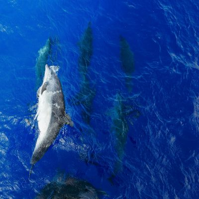 Dolphins, St. Helena Island